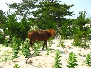 Assateague Island Pony